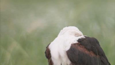Eagle,Close Up