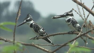 Pied kingfishers Perching On A Tree