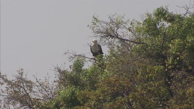 Eagle Perching On A Tree