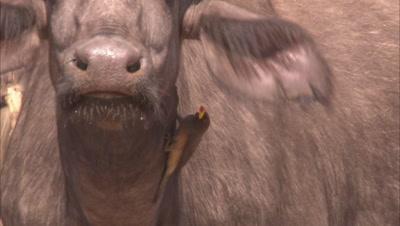 Herd Of Buffalo Drinking Water