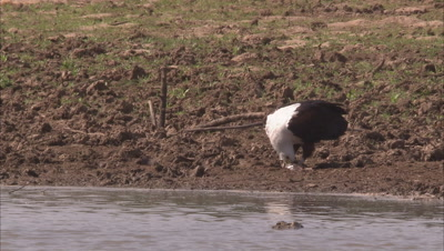 Eagles Perching On River Bank