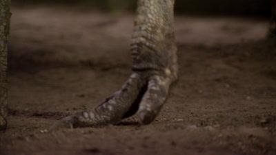 Cassowary Flightless Bird, Close Up of Feet and Claws