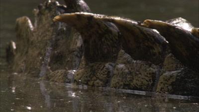 Crocodile, possibly Nile Crocodile, Close up of spikes on back