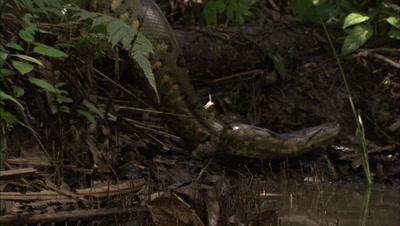 Anaconda Crawling And Entering Water