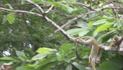 Squirrel Monkeys in Forest Near Manaus, Brazil