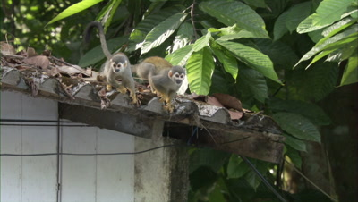 Squirrel Monkeys on roof of building
