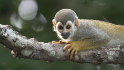 Squirrel Monkey Hangs from Branch in Forest Near Manaus, Brazil