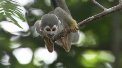 Squirrel Monkey on End of Branch in Forest Near Manaus, Brazil