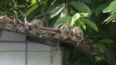 Squirrel Monkeys on roof of Building Near Manaus, Brazil