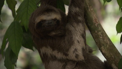 Three-toed Sloth climbs down tree with baby on belly