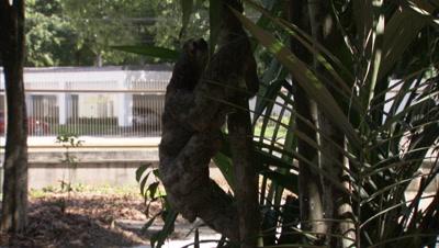 Three-toed Sloth Climbs tree in Enclosure, Street Behind