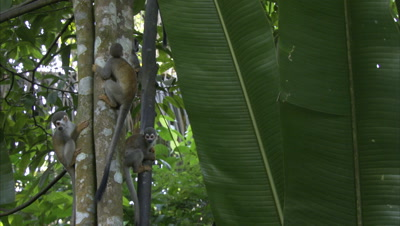 Squirrel Monkeys Climb In Forest