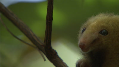 Silky Anteater Climbs Up Tree, good view of single claw, toe
