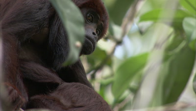 Looking up at Red Howler Monkey In Forest