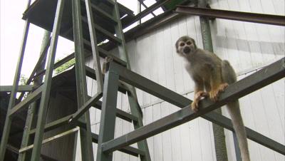 Mischievous Squirrel Monkeys Play Around Hotel Grounds, Ladders, Scaffolding