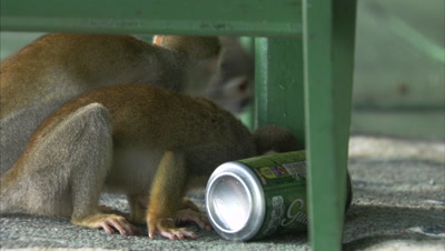 Mischievous Squirrel Monkeys at Play Around Hotel Grounds, investigate Soda Can