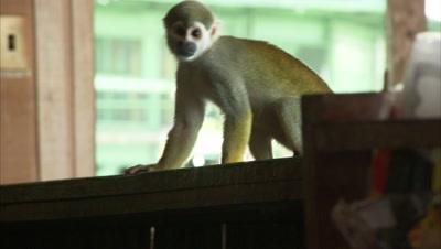 Mischievous Squirrel Monkeys at Play Around Hotel Grounds, Investigate Bar