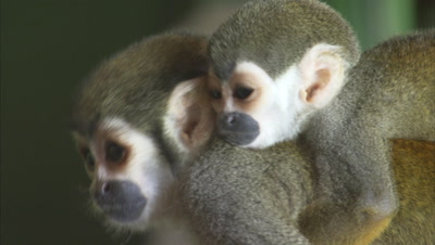 Mischievous Squirrel Monkey with baby on back at Plays Around Hotel Grounds, Investigates Bar
