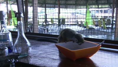 Mischievous Squirrel Monkeys at Play Around Hotel Grounds, Eats Sugar from Bowl