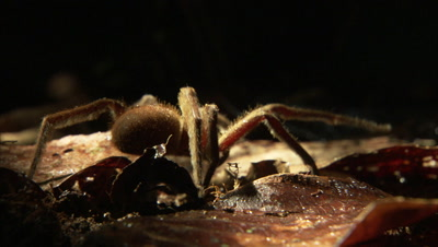 Spider Slowly Crawling Over Some Dry leaves