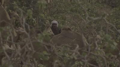 Man Herding Group Of Camels