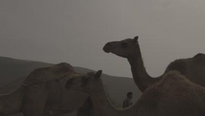 Man Herding Camels In A Desert