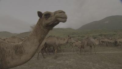 Herd Of Camels In Desert
