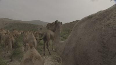 Travel Toward Herd Of Camels Grazing