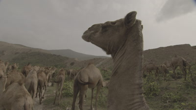 Herd Of Camels Grazing,One in Foreground Chewing