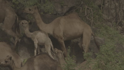 Man Herding Group Of Camels Including Baby