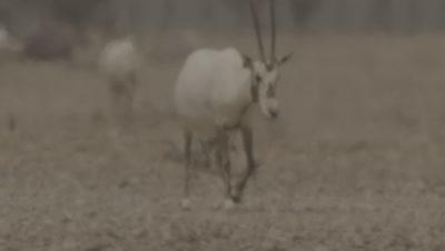 Arabian Oryx Walking In Heatwave