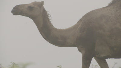 Camel Walks through Misty Landscape and wildflowers