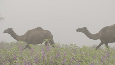 Camels Walk through Misty Landscape and wildflowers
