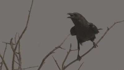 Fan-tailed Raven Perching On Tree