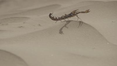 Yellow Scorpion Crawling Across Sand