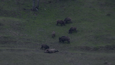Wild Boar Family Grazes On Hillside