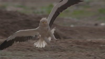 Egyptian Vulture Flying And Landing At Carcass Sight