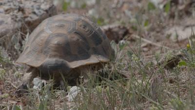 Spur-thighed Tortoise Crawls in Scrub Landscape