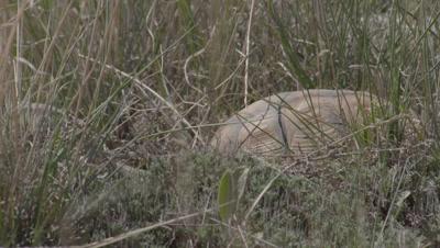 Spur-thighed Tortoises Courtship, Banging shells Together