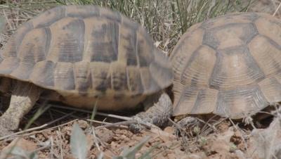 Spur-thighed Tortoise Courtship, Banging Shells Together