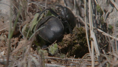 Two Dung Beetles Fighting Over A Dung Ball