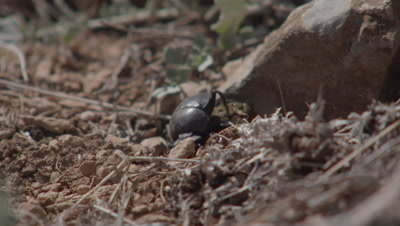 A Dung Beetle Trying To Bury Dung Ball