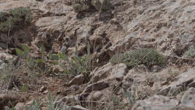 Dung Beetle Crawling Around Arid Landscape