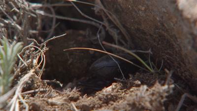 Dung Beetle Buries Dung Ball Under Rock