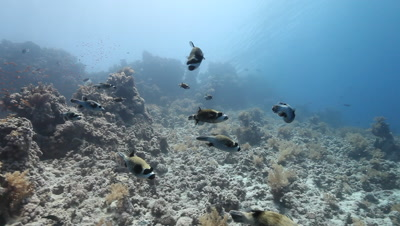 Small School Masked Pufferfish on Coral Reef