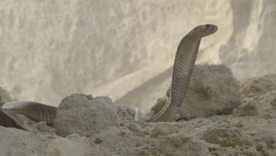 Cobra in Desert,Upright with Flared Hood,Flicking Tongue