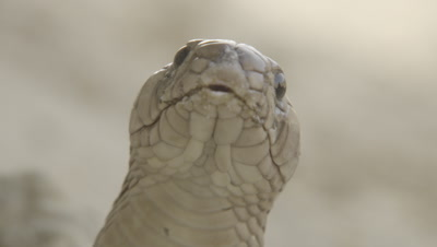 Cobra Portrait,flicking out its tongue