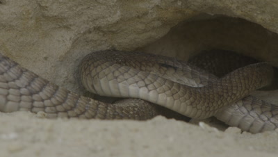 Egyptian Cobra leaves burrow in rock