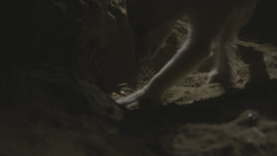 Fennec Fox Digs Up Scorpion In Desert