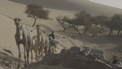 Camels With Rider Walk In Desert